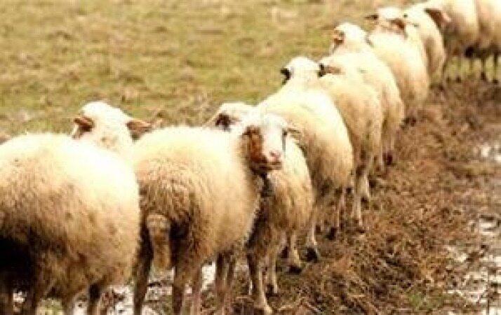 چند تا گوسفند داریم !؟